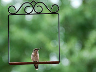 Pop's Birding Company: Hummingbird Swing