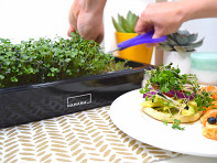 Hamama?: Home Microgreens Growing Kit