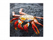 Medium Wooden Jigsaw Puzzle - Red Rock Crab