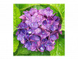 Large Wooden Jigsaw Puzzle - Hydrangea